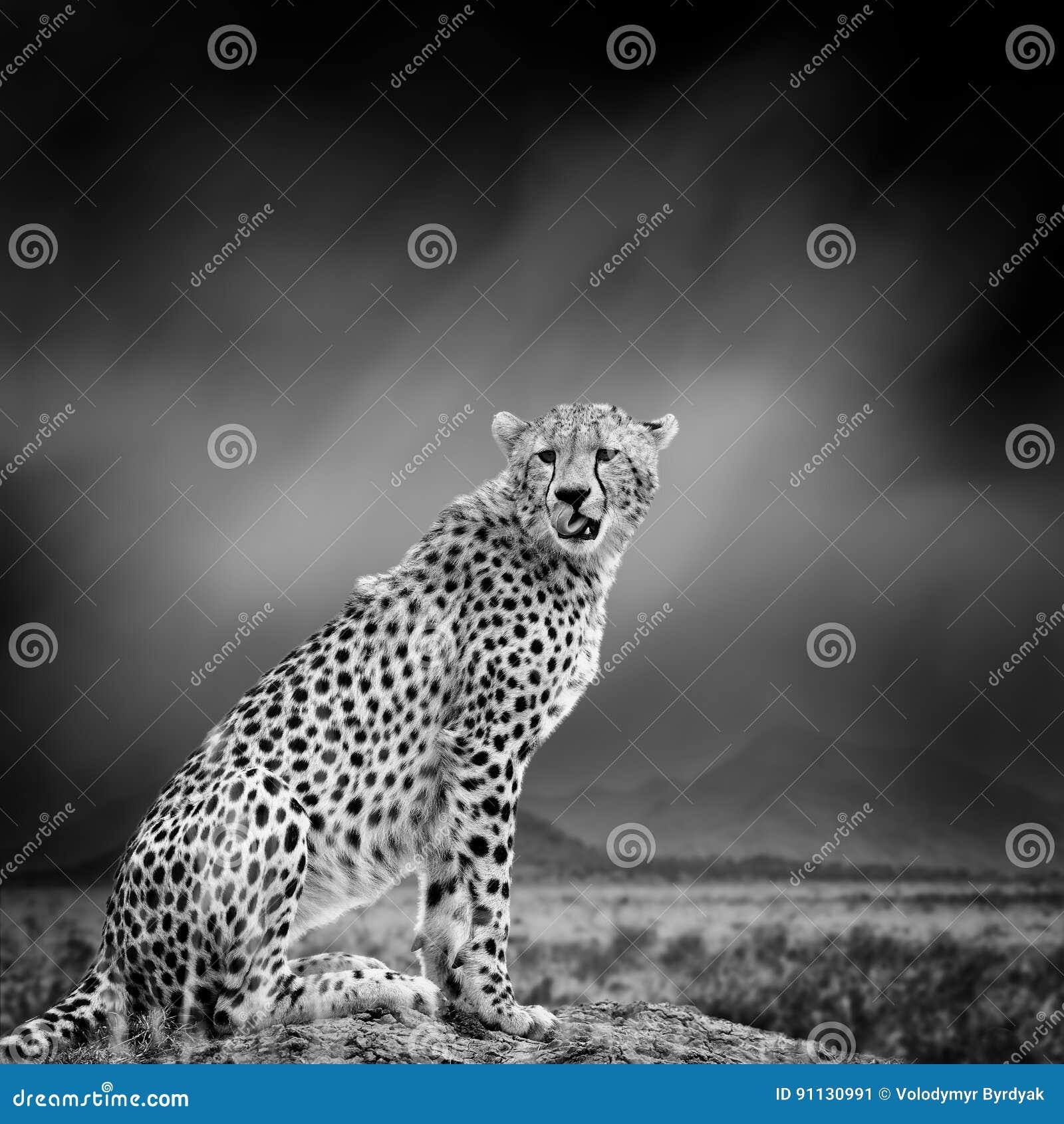 Immagine in bianco e nero di un ghepardo