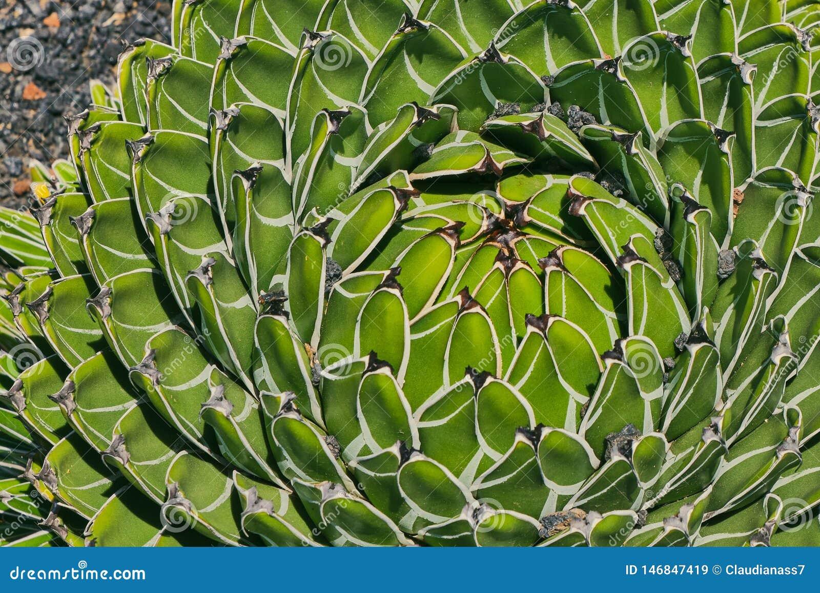 Immagine a colori di Victoriae-Regine dell agave