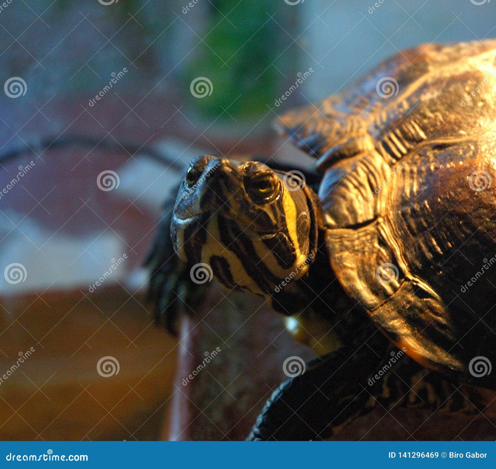 Immagine dei dettagli della tartaruga dell Giallo-oliva