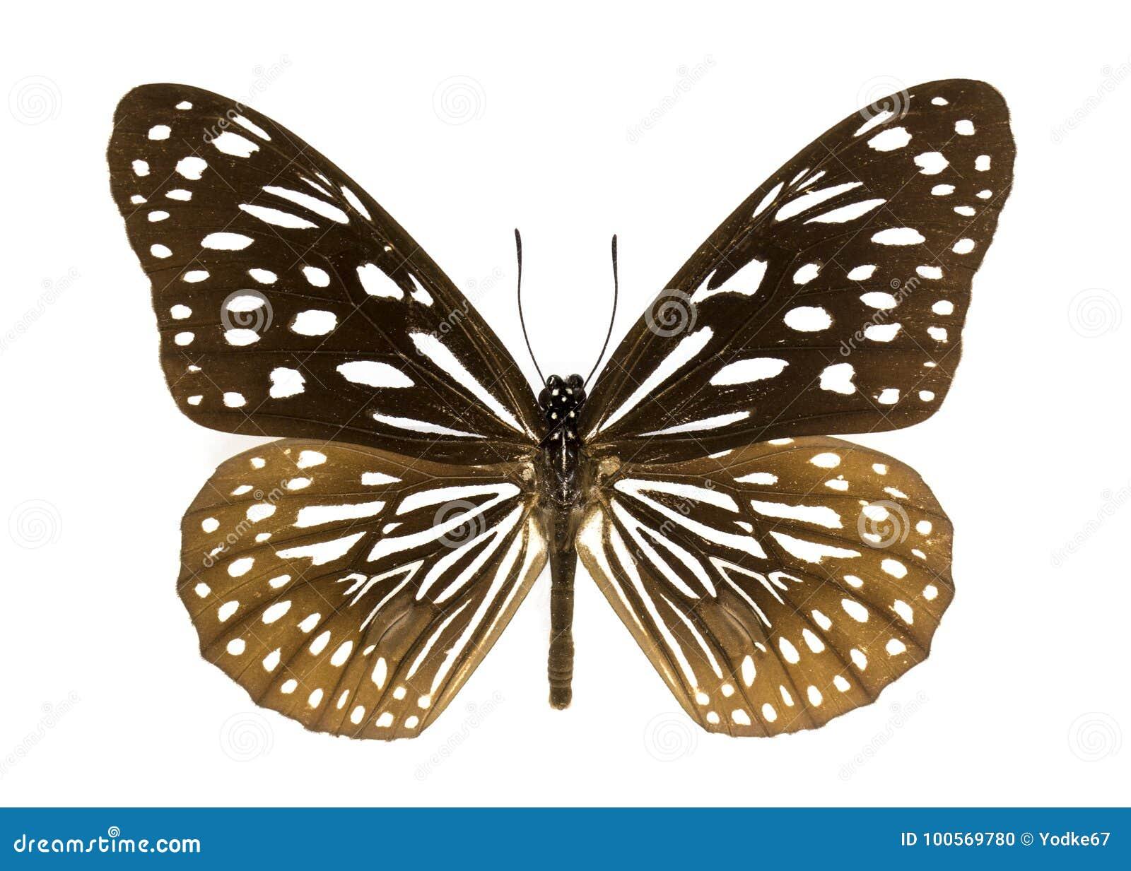 Immagine del hamata blu scuro di Danao della farfalla della tigre