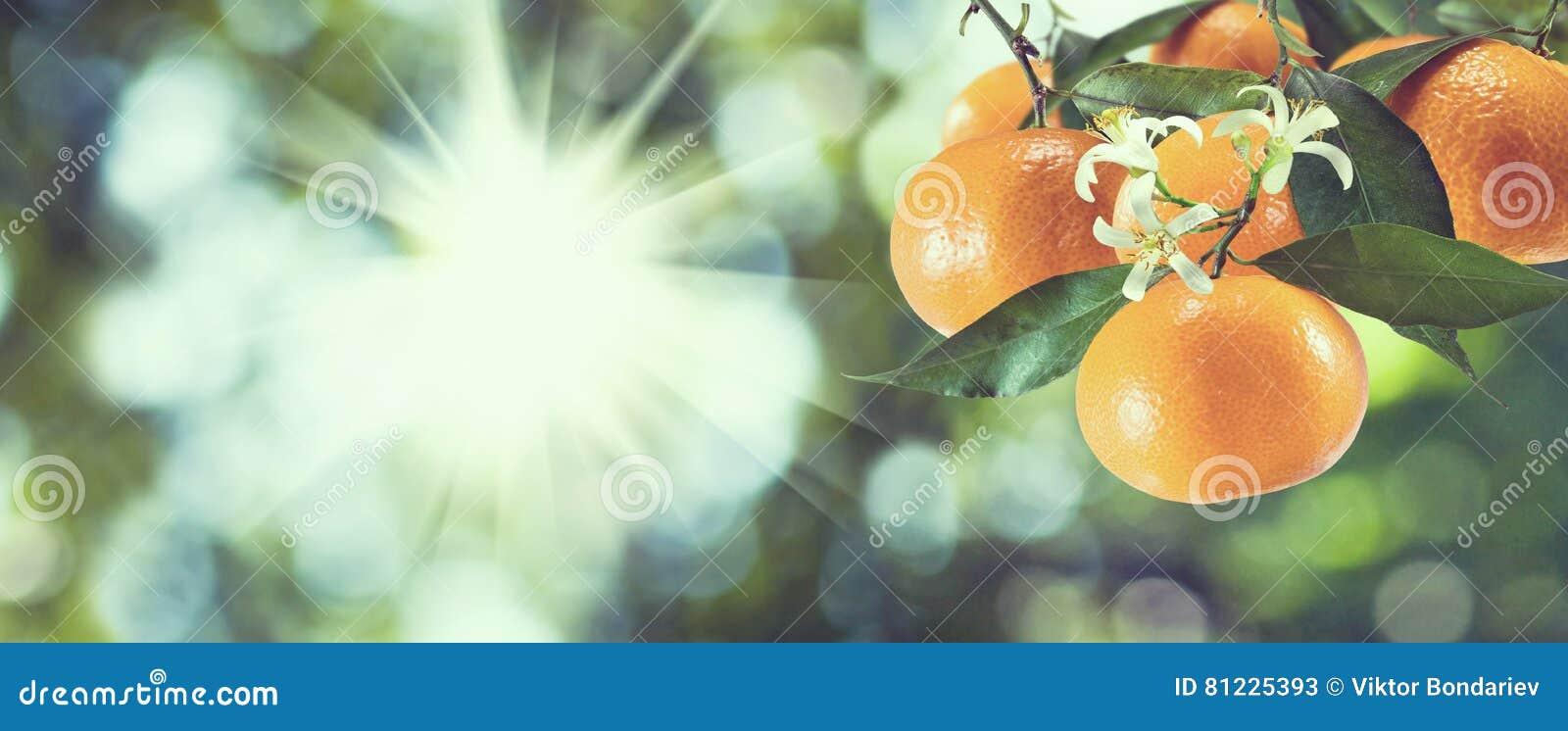 Immagine delle arance dolci sull albero,