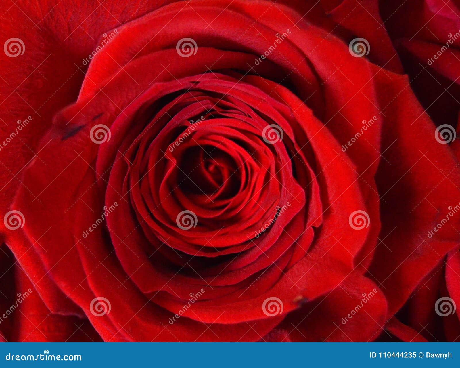 Immagine Di Sfondo Del Primo Piano Della Rosa Rossa Per I Biglietti