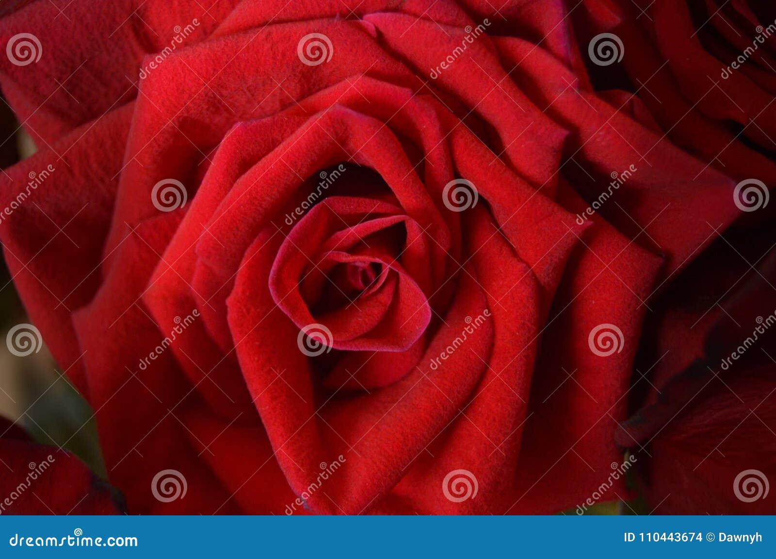 Immagine Di Sfondo O Foto Della Rosa Rossa Fotografia Stock