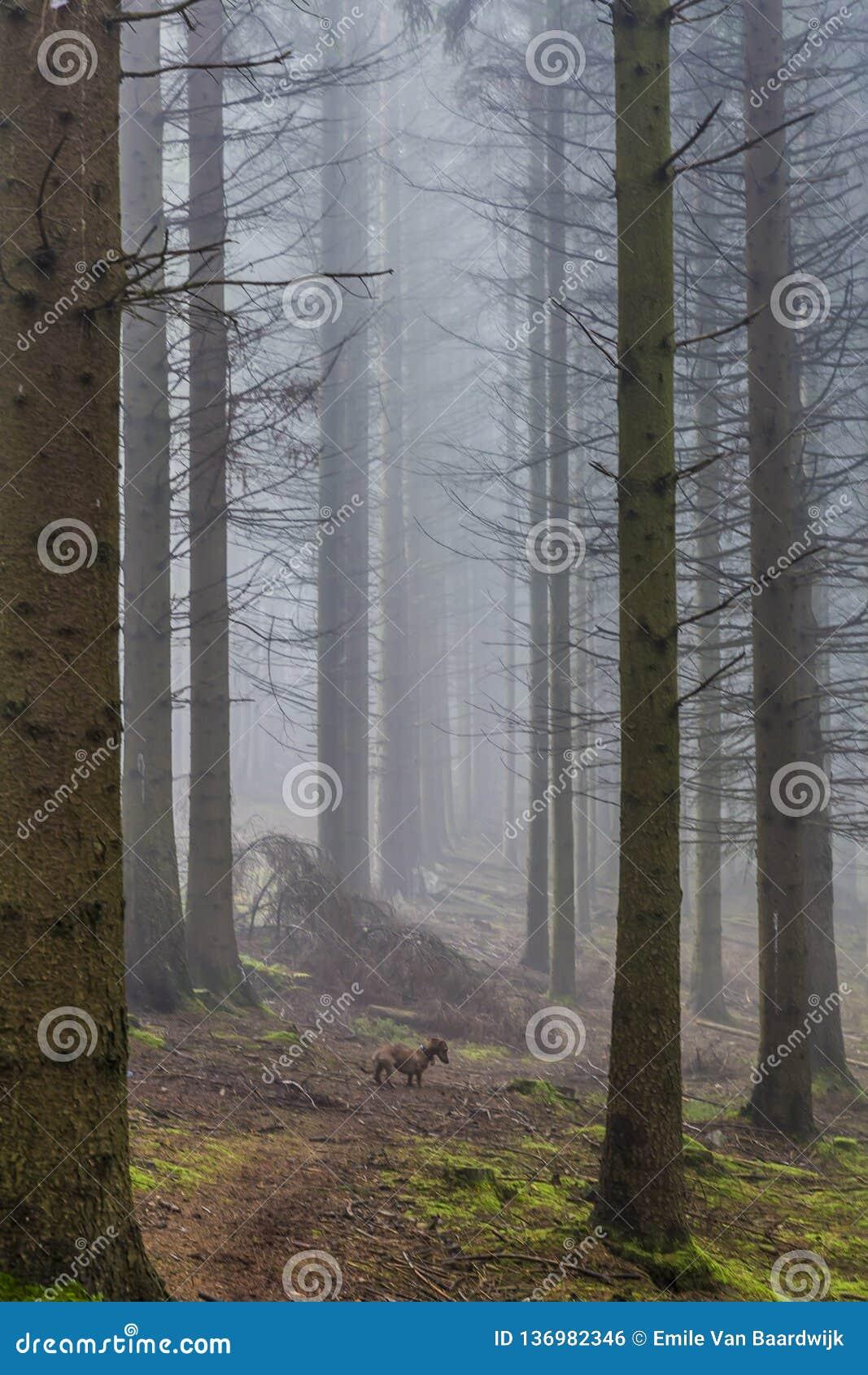 Immagine di un cane fra i pini alti nella foresta