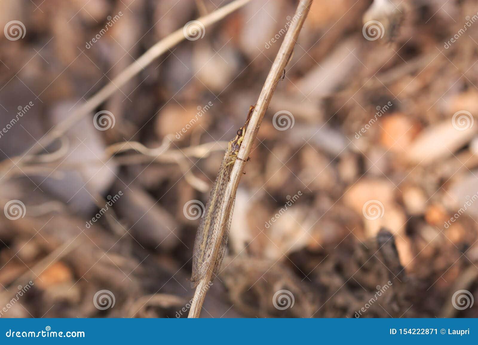 Immagine di una formica del leone nel suo ambiente fra le erbe del suolo