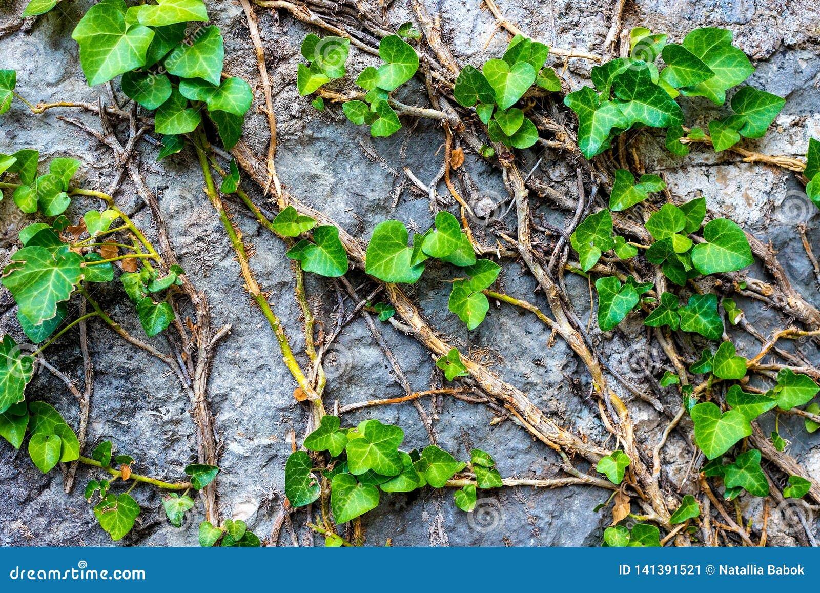 Immagine di una parete di pietra, foglie verdi, edera su una parete di pietra grigia