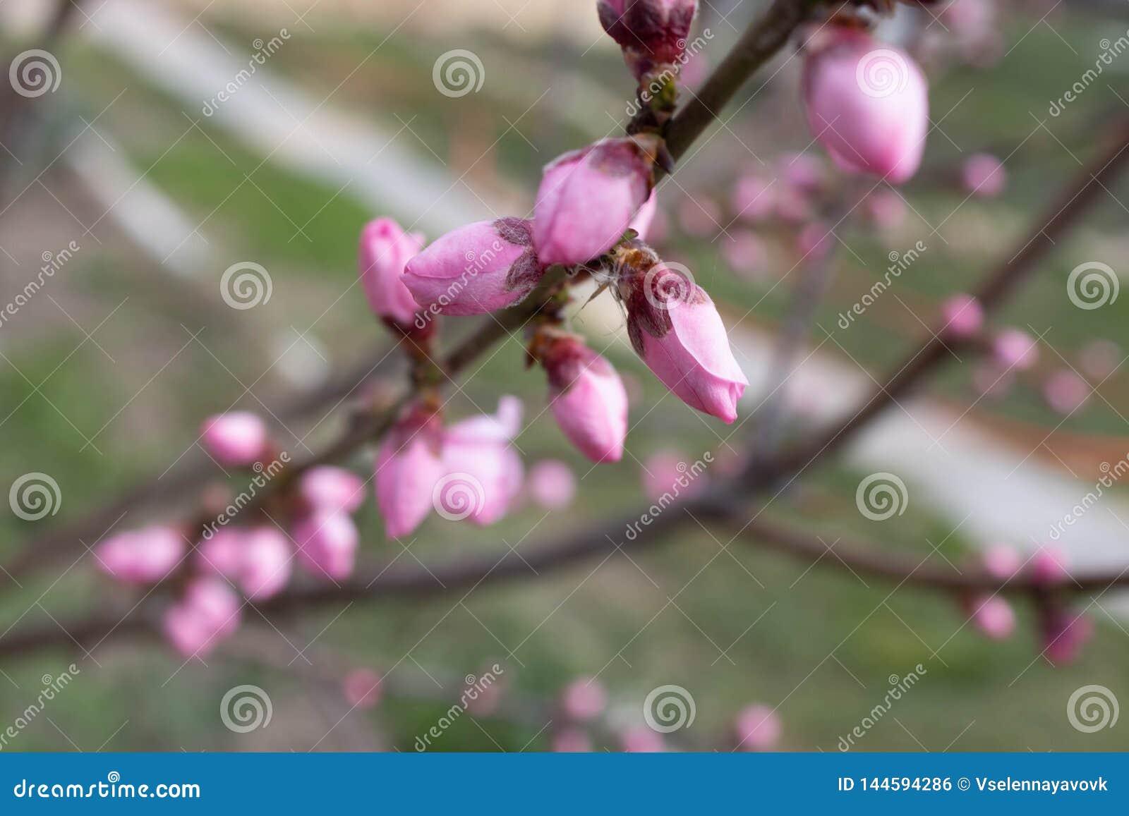 Immagine vaga di un fiore rosa delicato del pesco in primavera La primavera fiorisce la serie, sbocciare della pesca