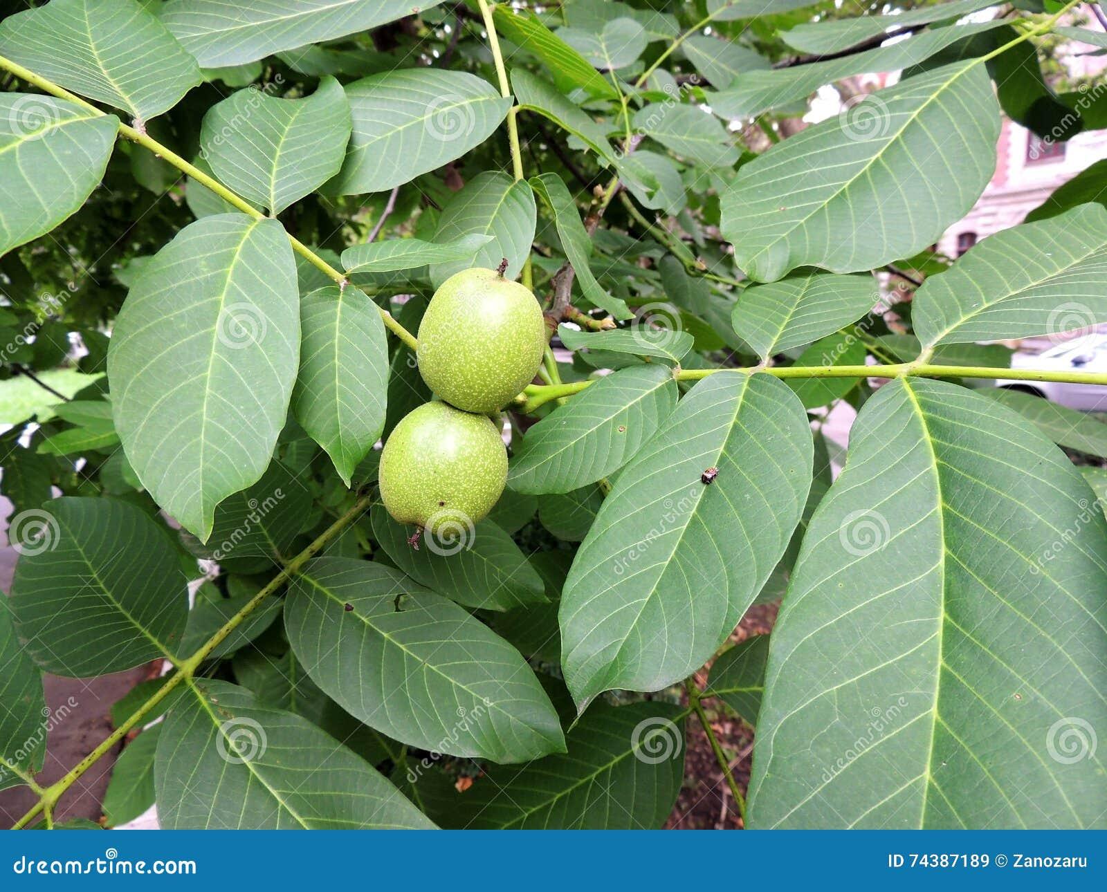 immature fruits of walnut juglans regia stock image image 74387189. Black Bedroom Furniture Sets. Home Design Ideas