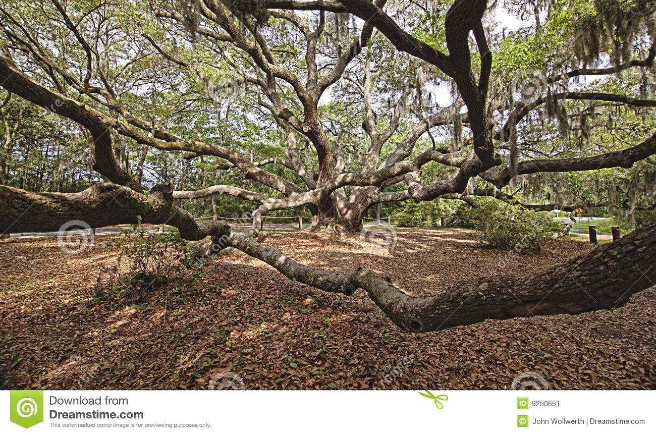 Immense Spreading Oak Stock Image - Image: 9250651