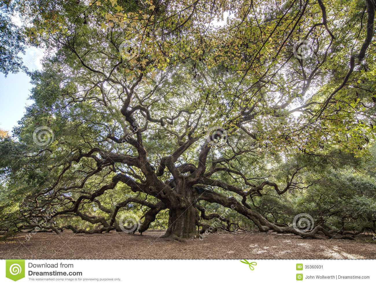 Immense Spreading Oak Stock Image - Image: 35360931