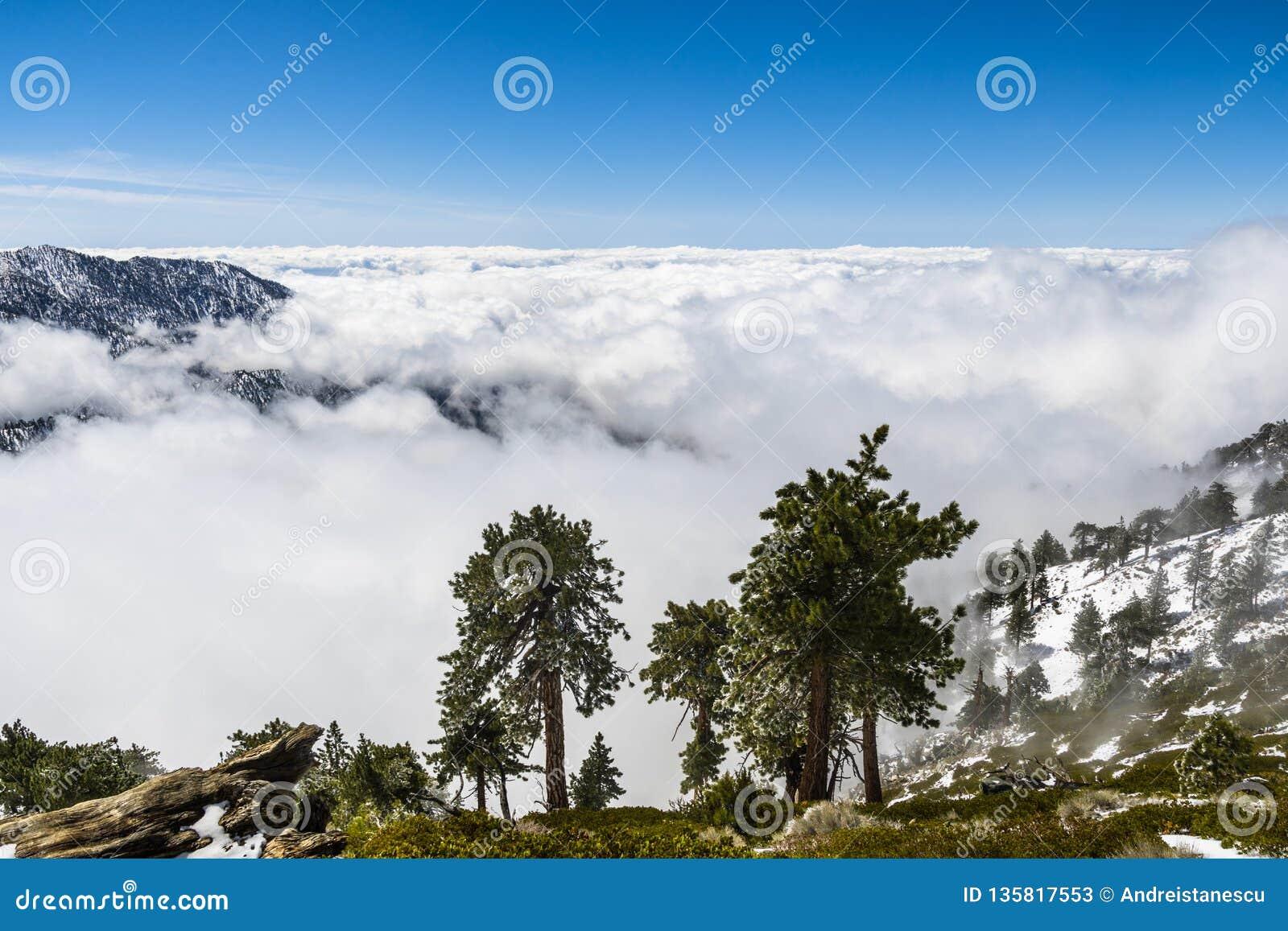 Immergrüne Bäume hoch auf dem Berg; Meer von weißen Wolken im Hintergrund, der das Tal, Berg San Antonio (Mt Baldy) bedeckt, Los