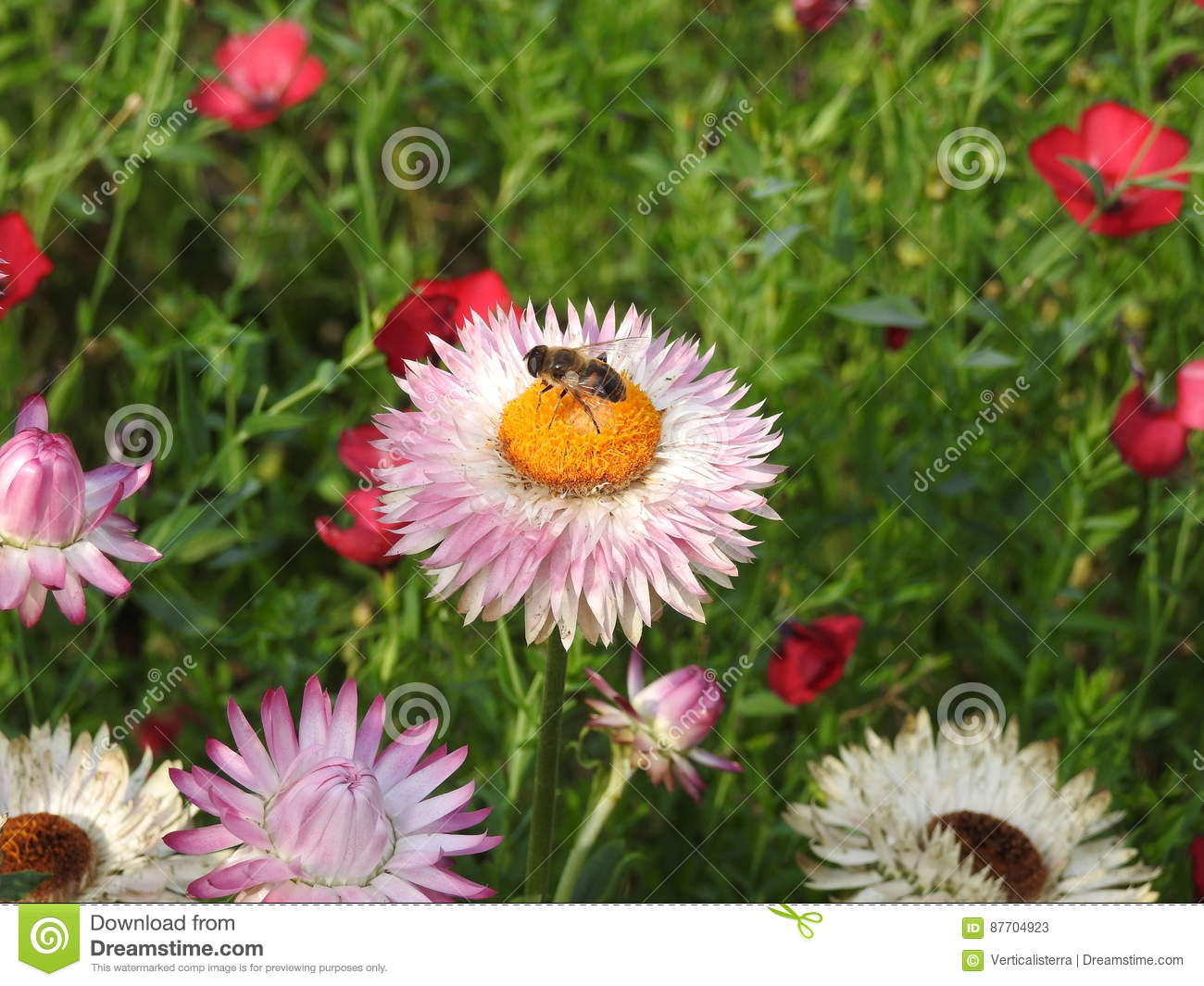 The immortal pink with a bee stock image image of circle the immortal pink with a bee izmirmasajfo