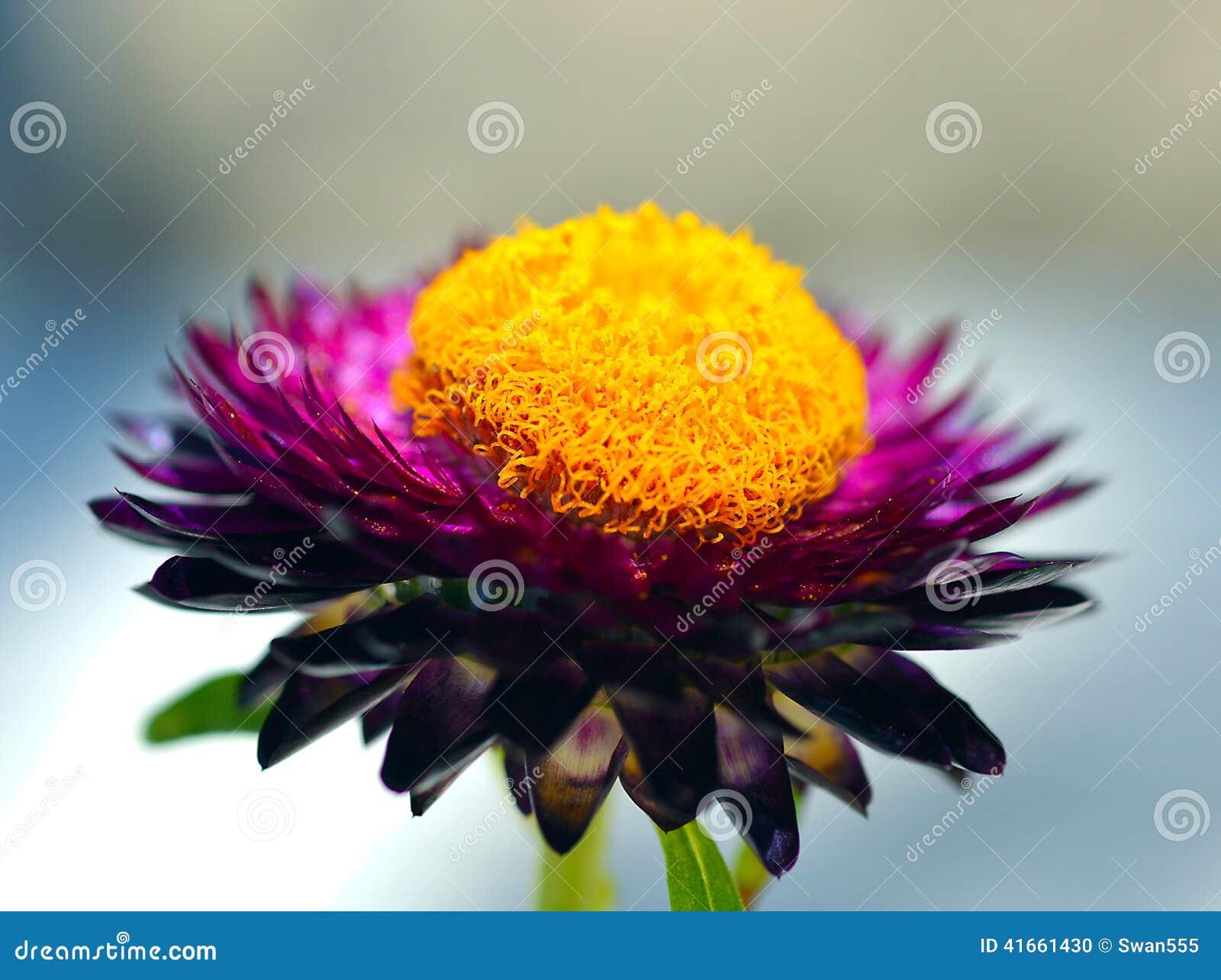 Immortelle, вековечное, цветок, Strawflower