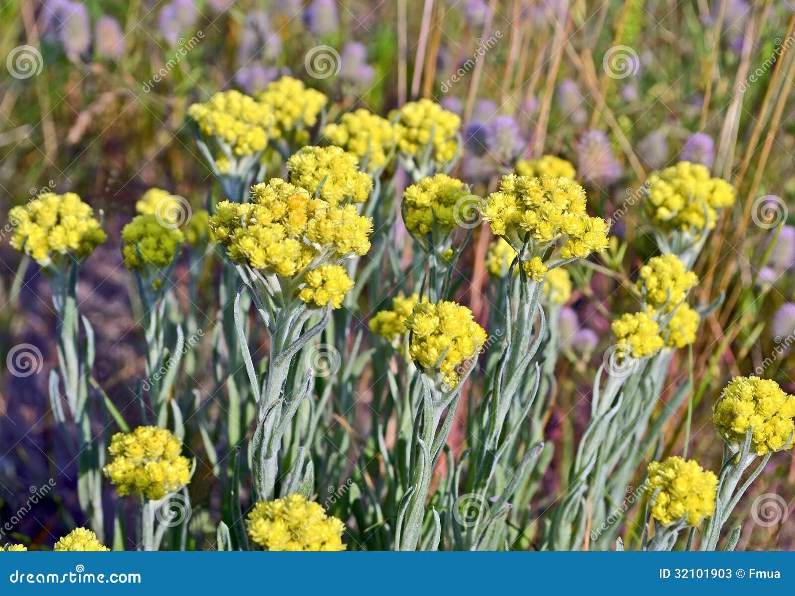 Immortelle plante m dicinale de jaune environnement d for Plante jaune