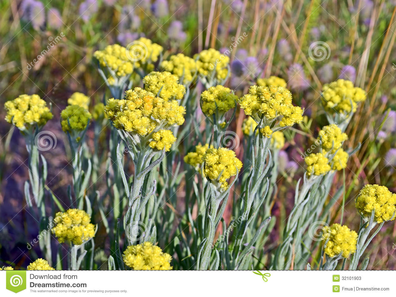 plante immortelle