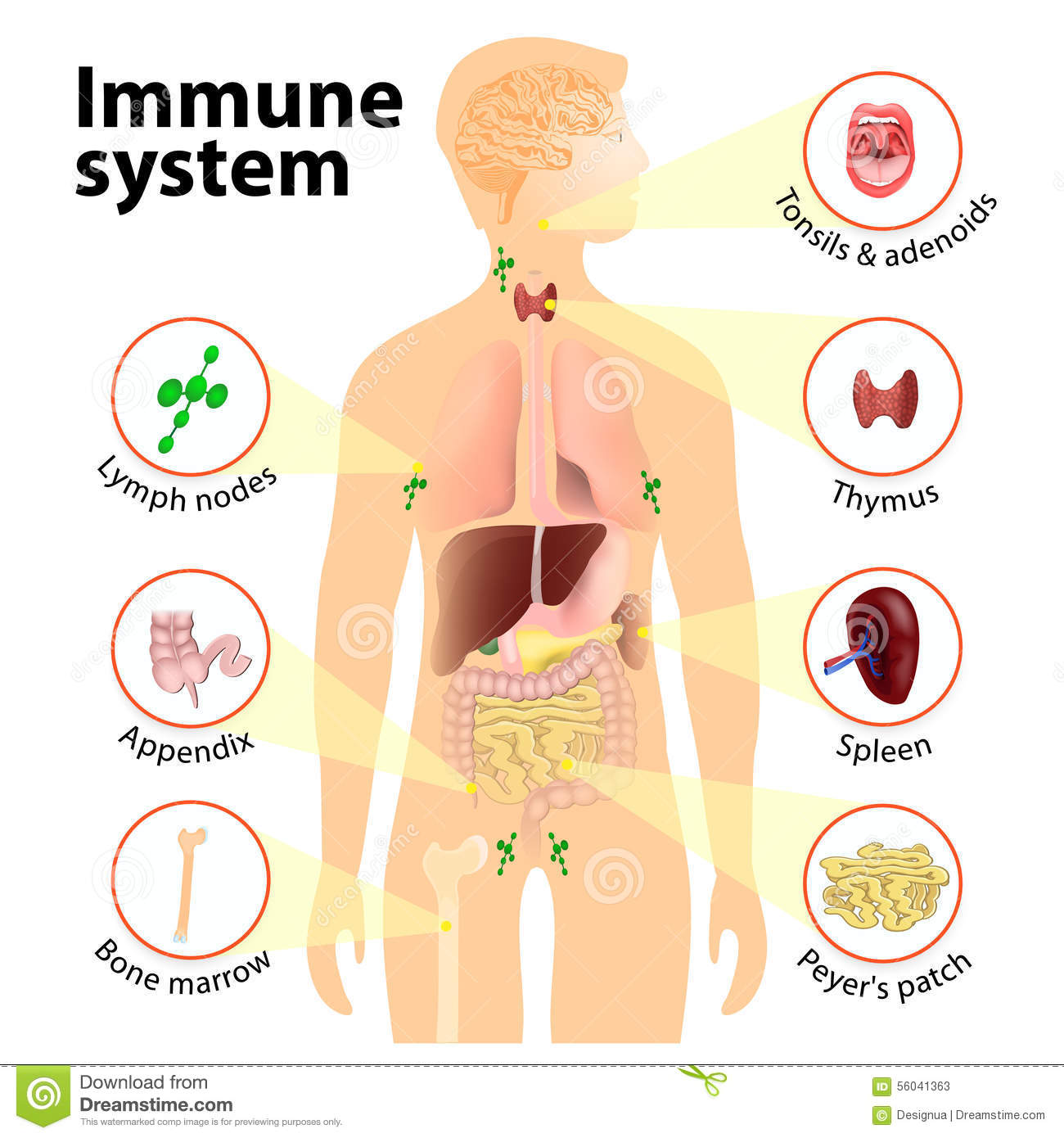 The Immune System: The Body's Defense Department