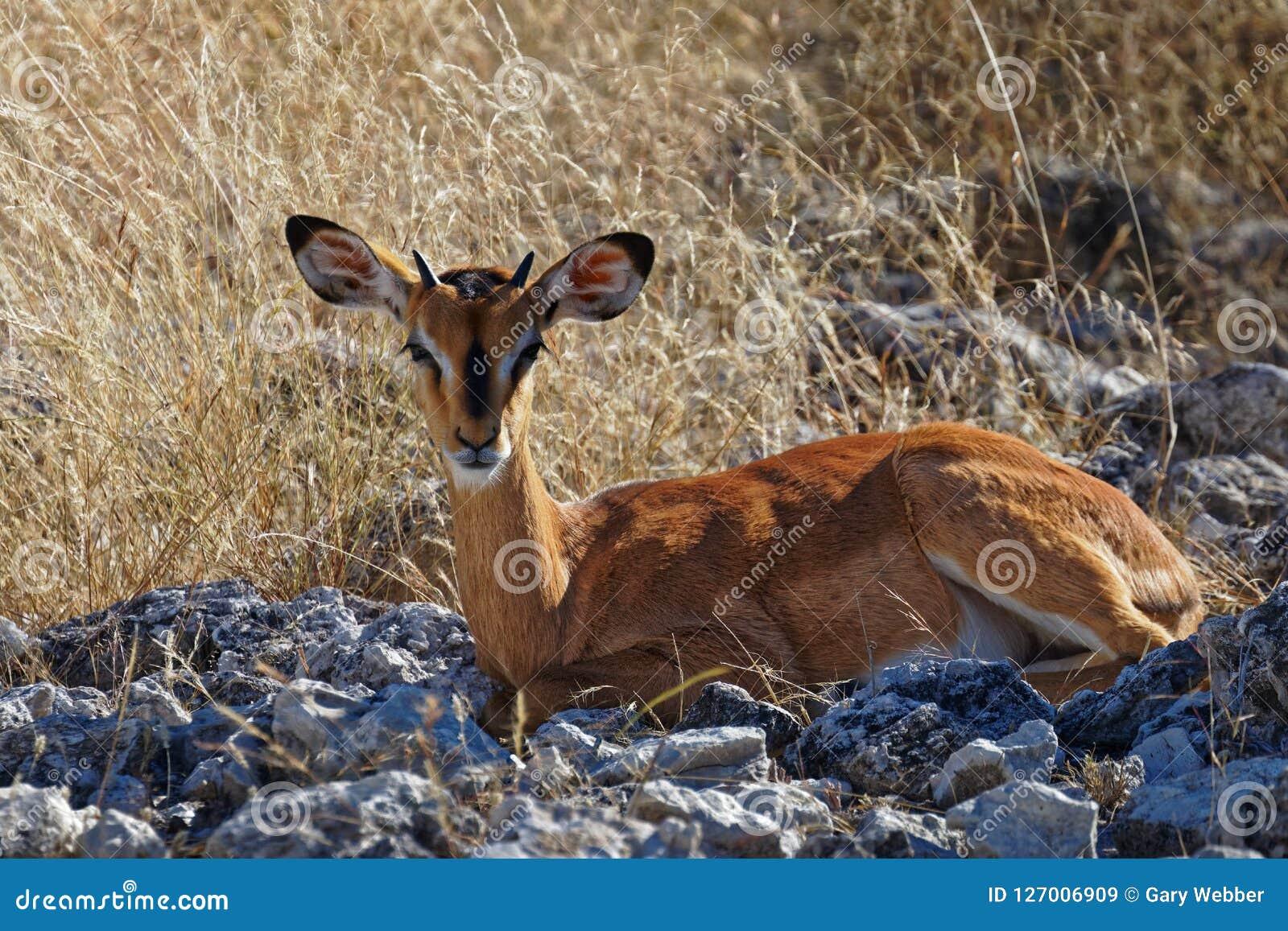 Impala źrebię patrzeje prosto przy kamerą