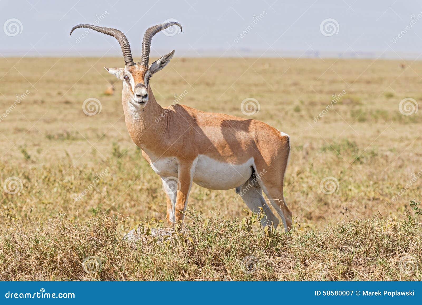 impala antelope in africa stock image image of antelope. Black Bedroom Furniture Sets. Home Design Ideas