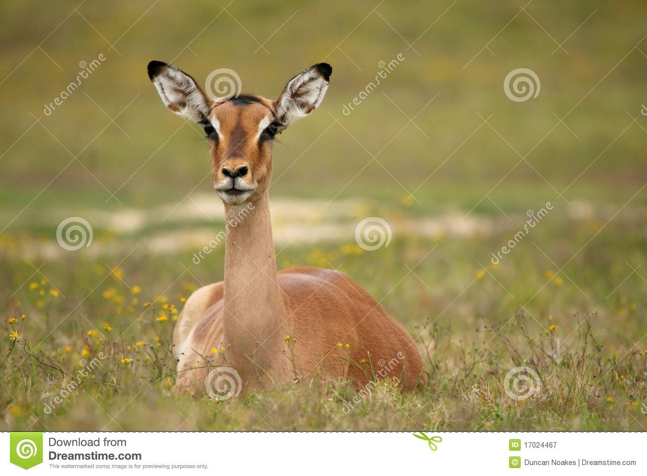 Impala Antelope Female