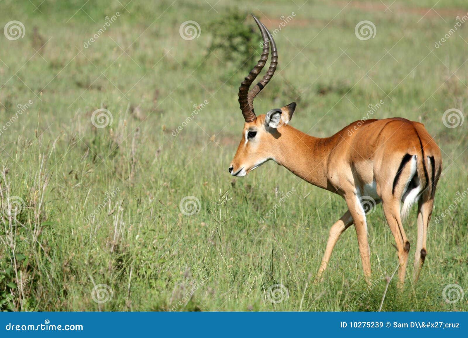 impala antelope serengeti tanzania africa royalty free. Black Bedroom Furniture Sets. Home Design Ideas