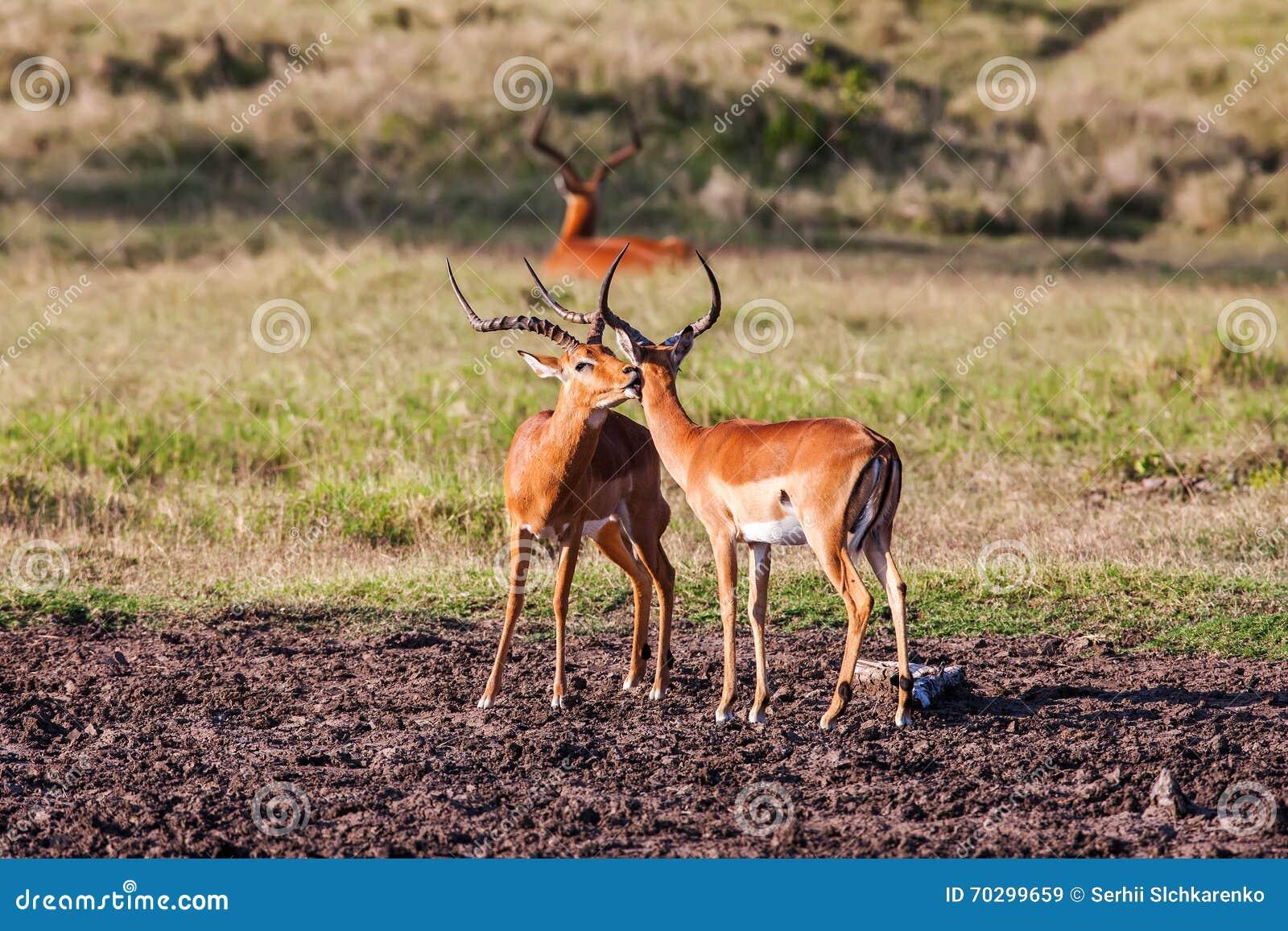 impala antelope walking on the grass landscape stock. Black Bedroom Furniture Sets. Home Design Ideas