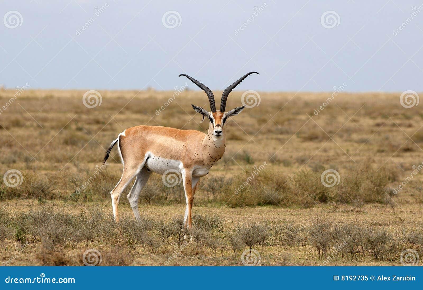 Impala - Antilope Afri...