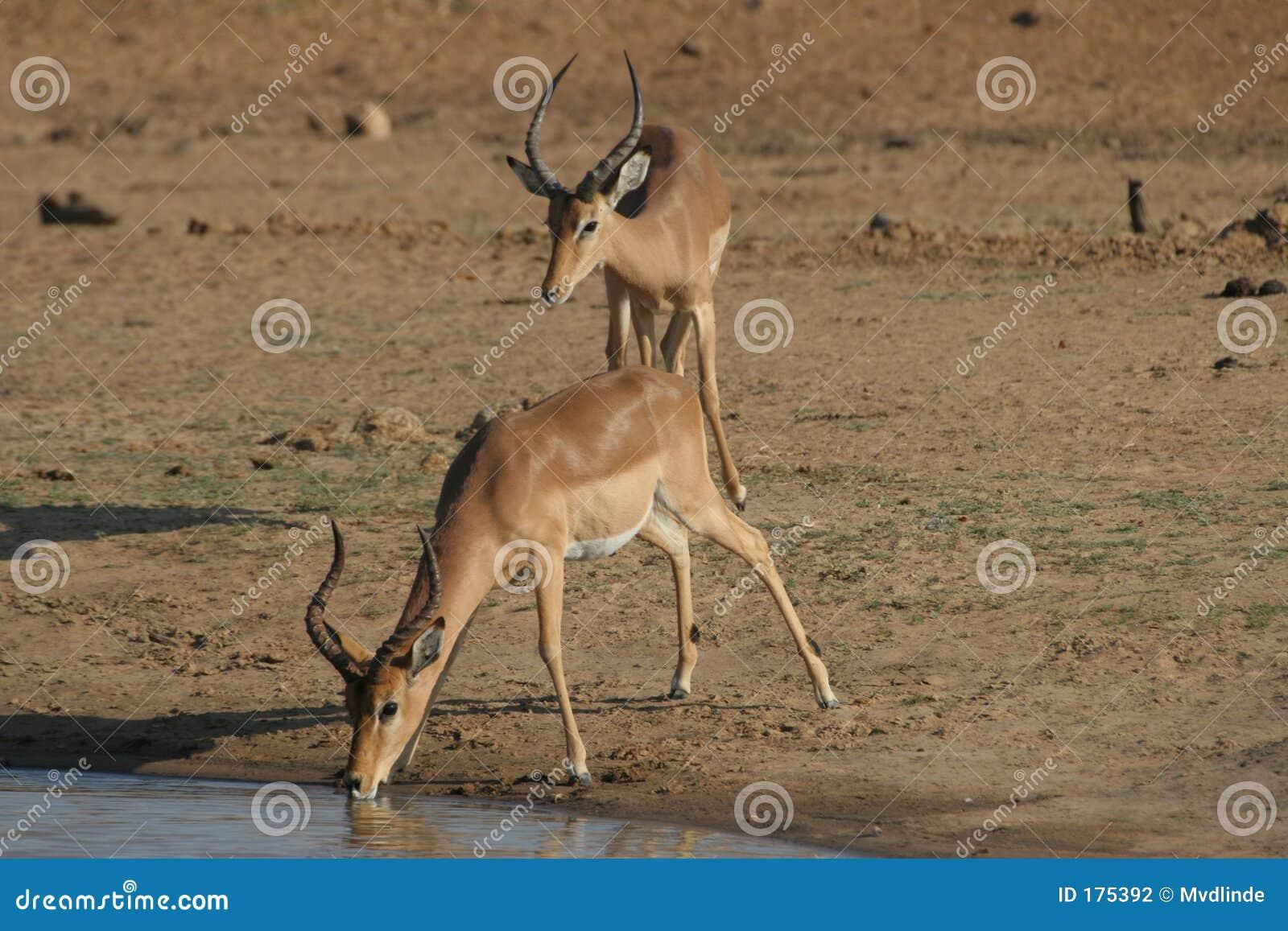 Impala assetato