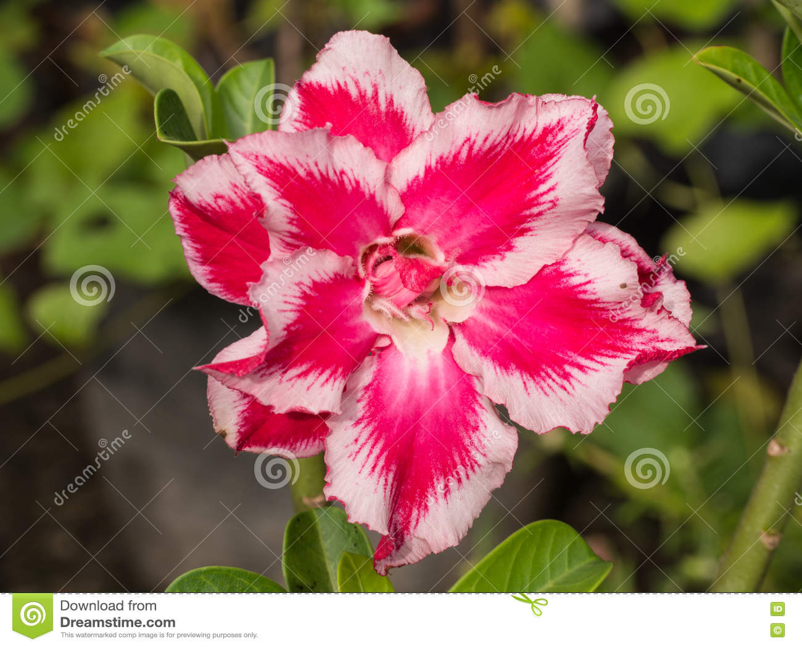 Impala blanco rojo Lily Blooming