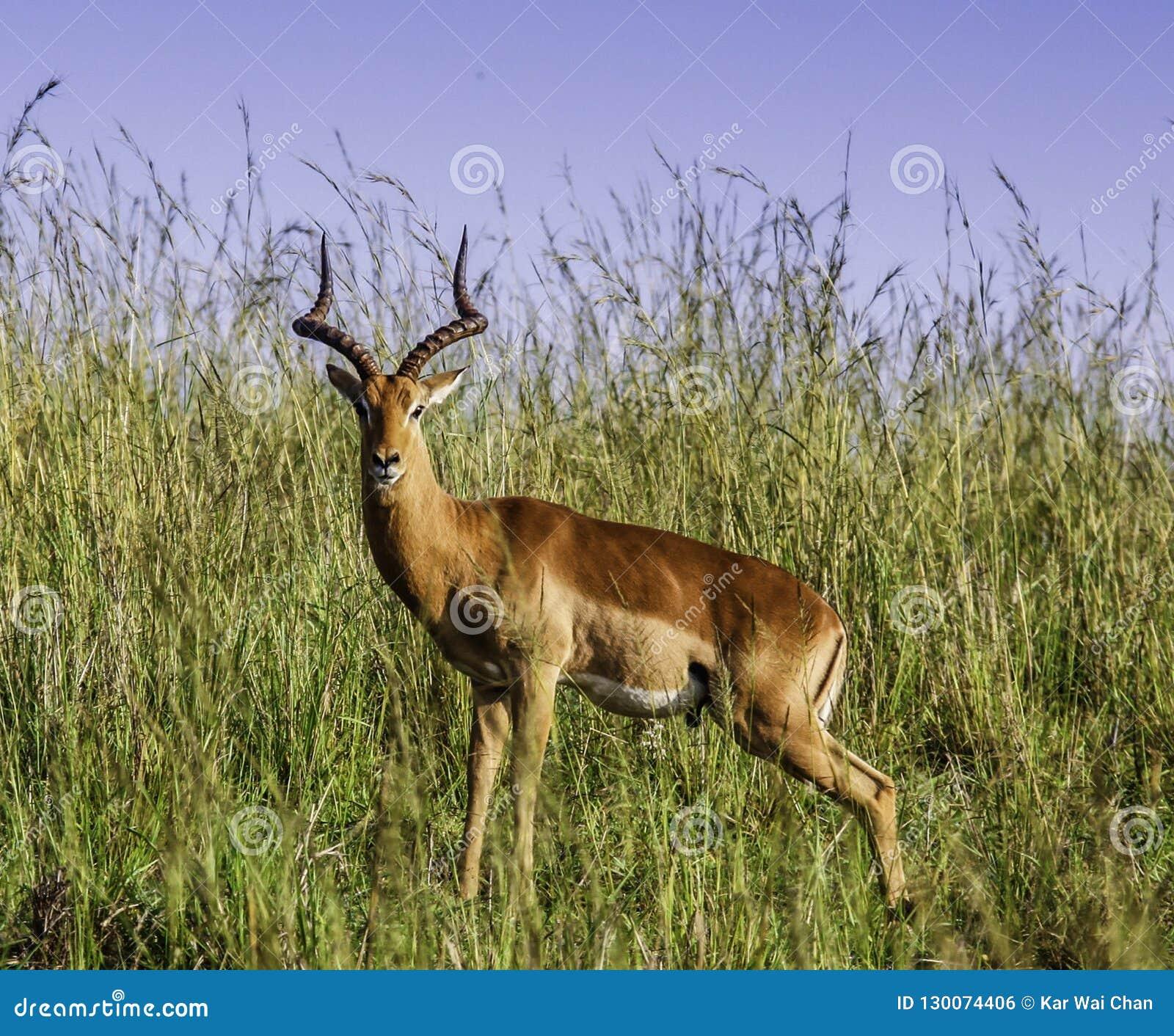 Impala curioso en el parque nacional de Kruger
