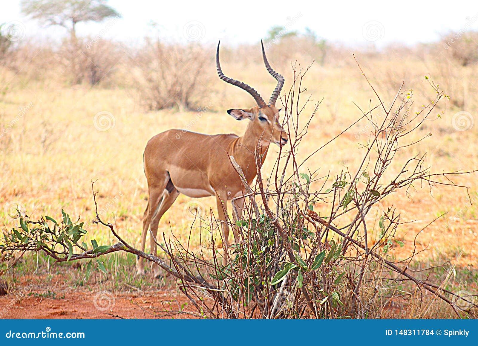 Impala die in de wildernis wordt bevlekt