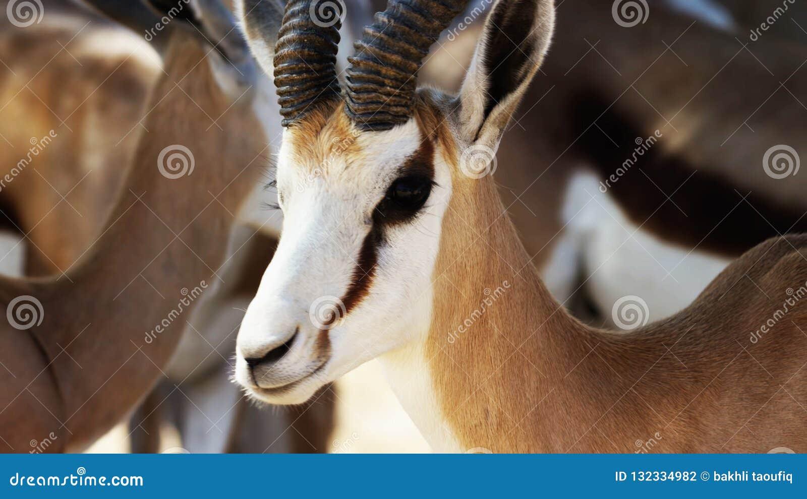 Impala en el melampus masculino del Aepyceros del antílope del impala de África //A en hábitat natural,