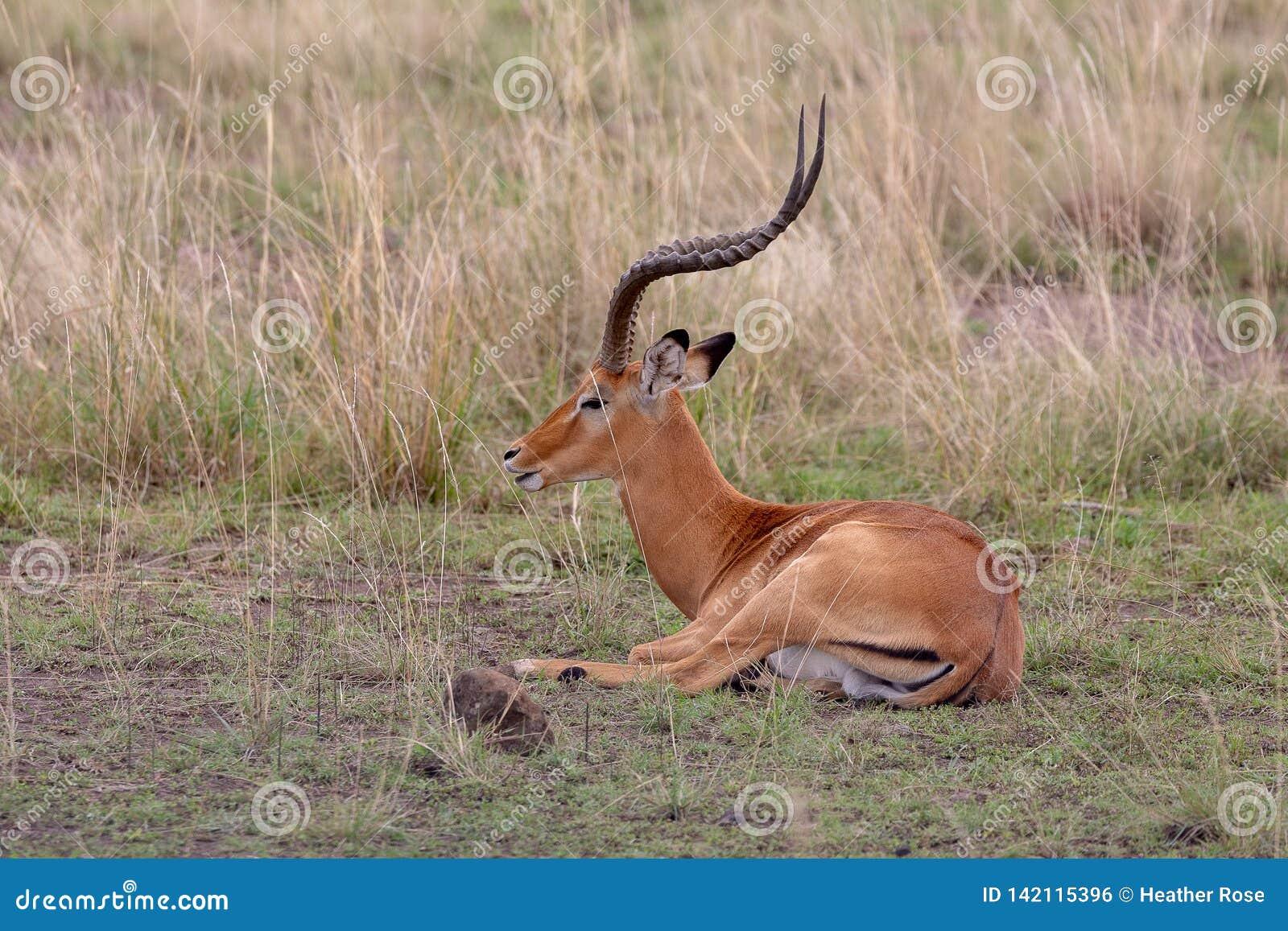 Impala en Masai Mara, Kenia, África