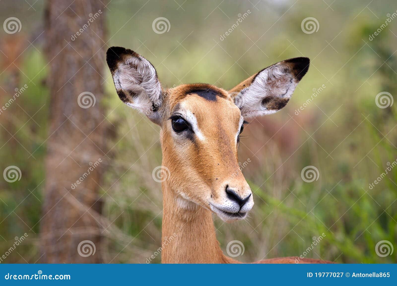 Impala femenino (melampus del Aepyceros)