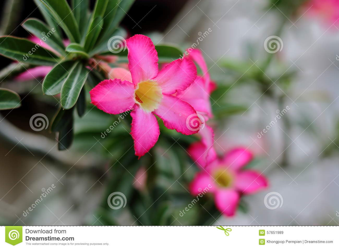 Impala Lily blooming