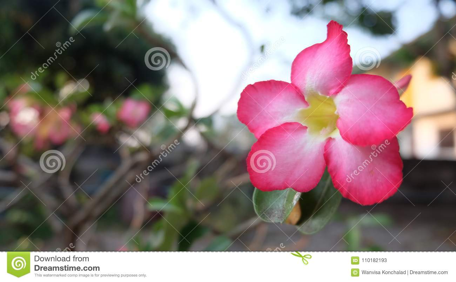 Impala lily it s very beautiful flower stock image image of impala lily it s very beautiful flower stock image image of impala home 110182193 izmirmasajfo