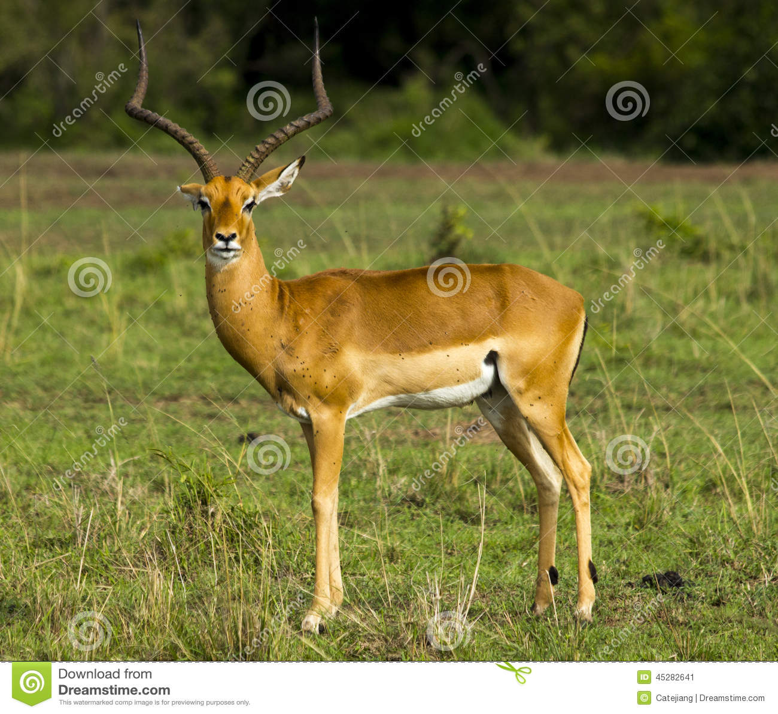 Impala Masculino Kenia África Imagen De Archivo