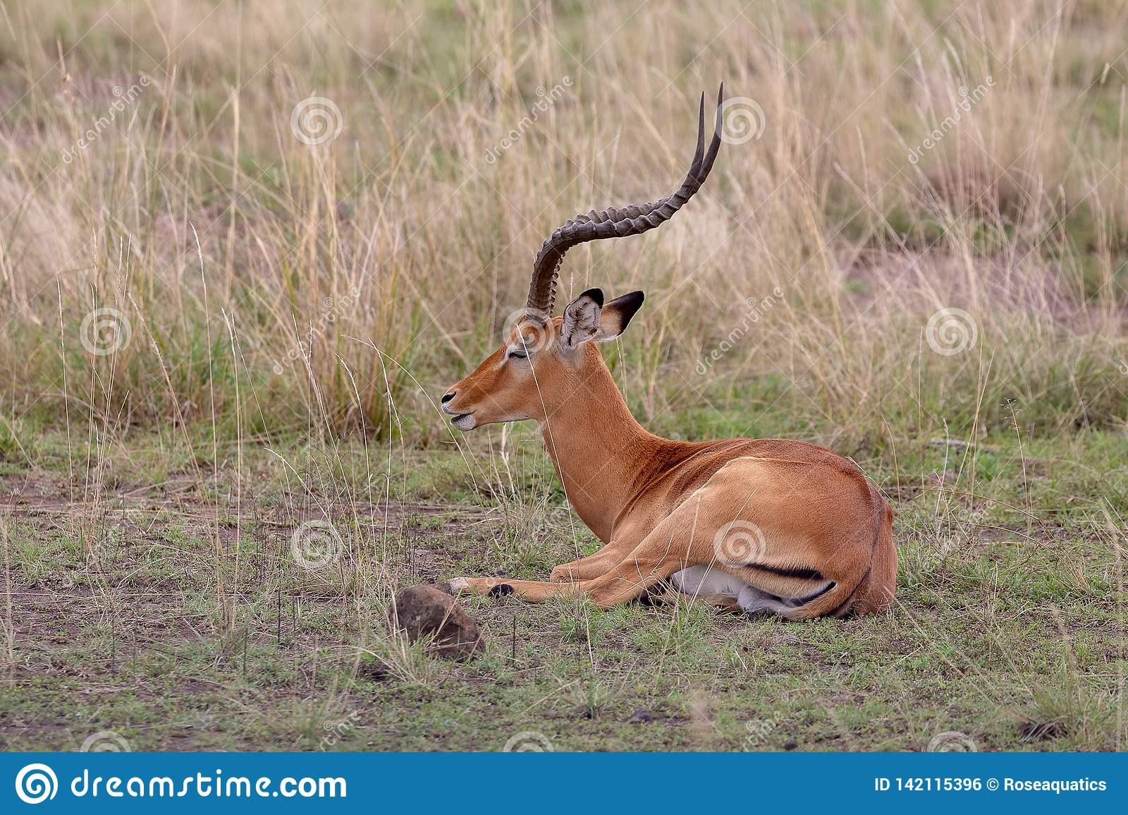 Impala na Masai Mara, Kenja, Afryka