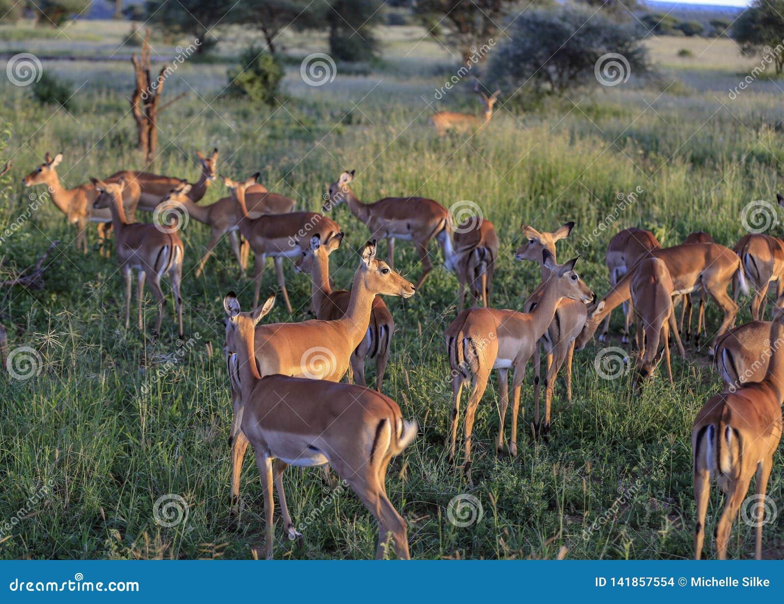 Impala op een grasontruiming bij zonsondergang die terwijl het kijken uit voor roofdieren eten