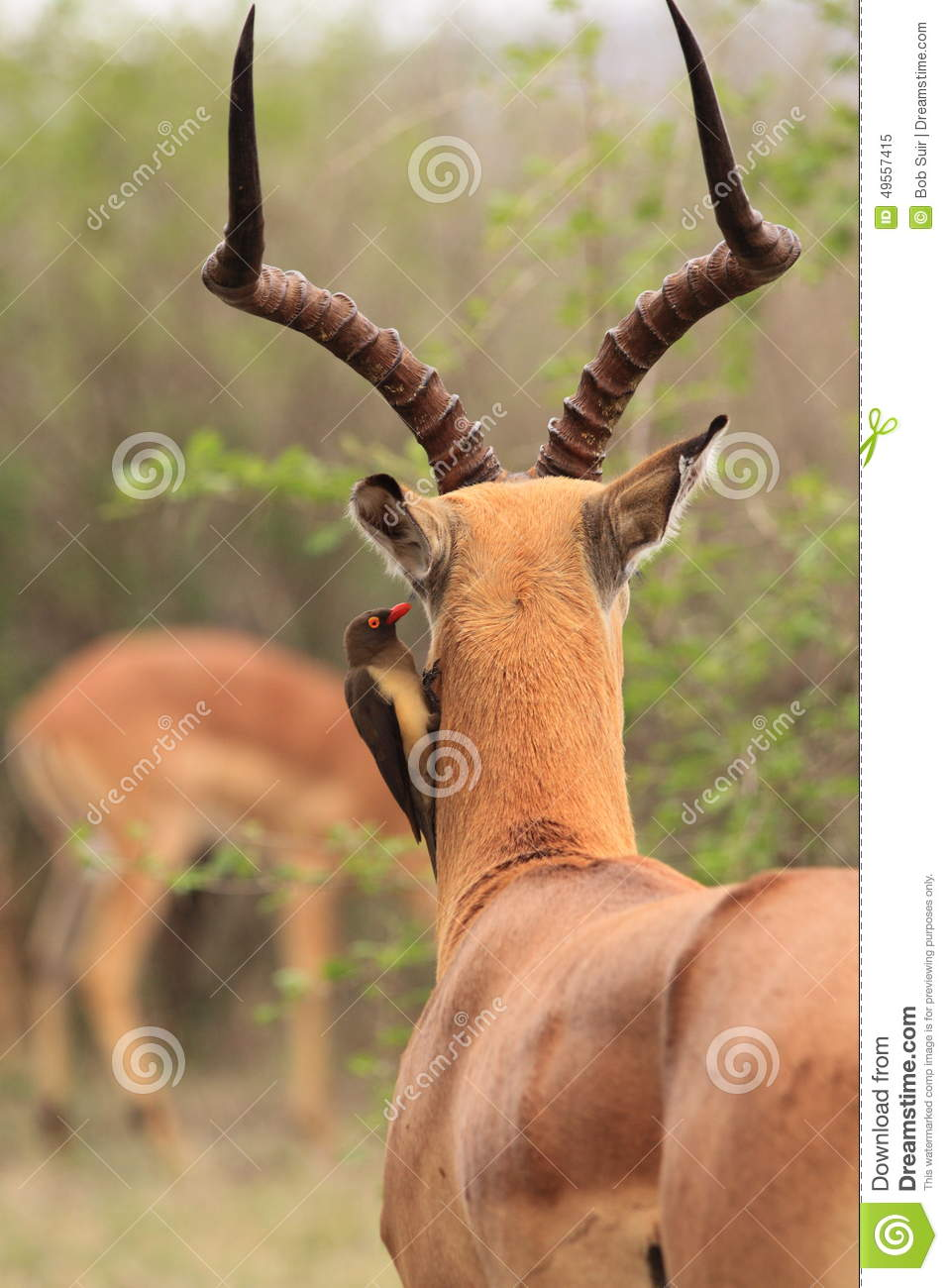 Impala with oxpecker