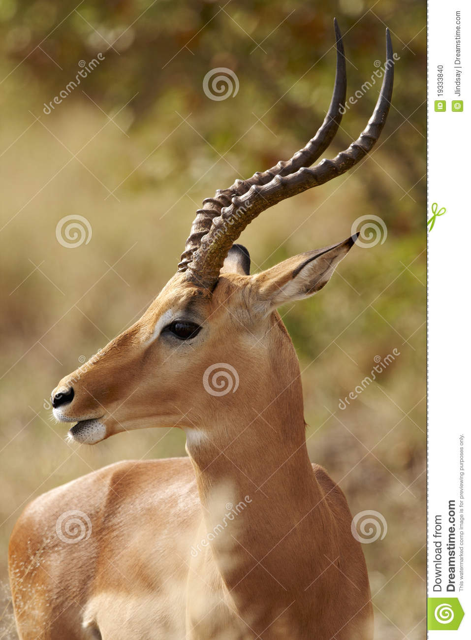 Impala ram in profile stock photo. Image of male, front ...