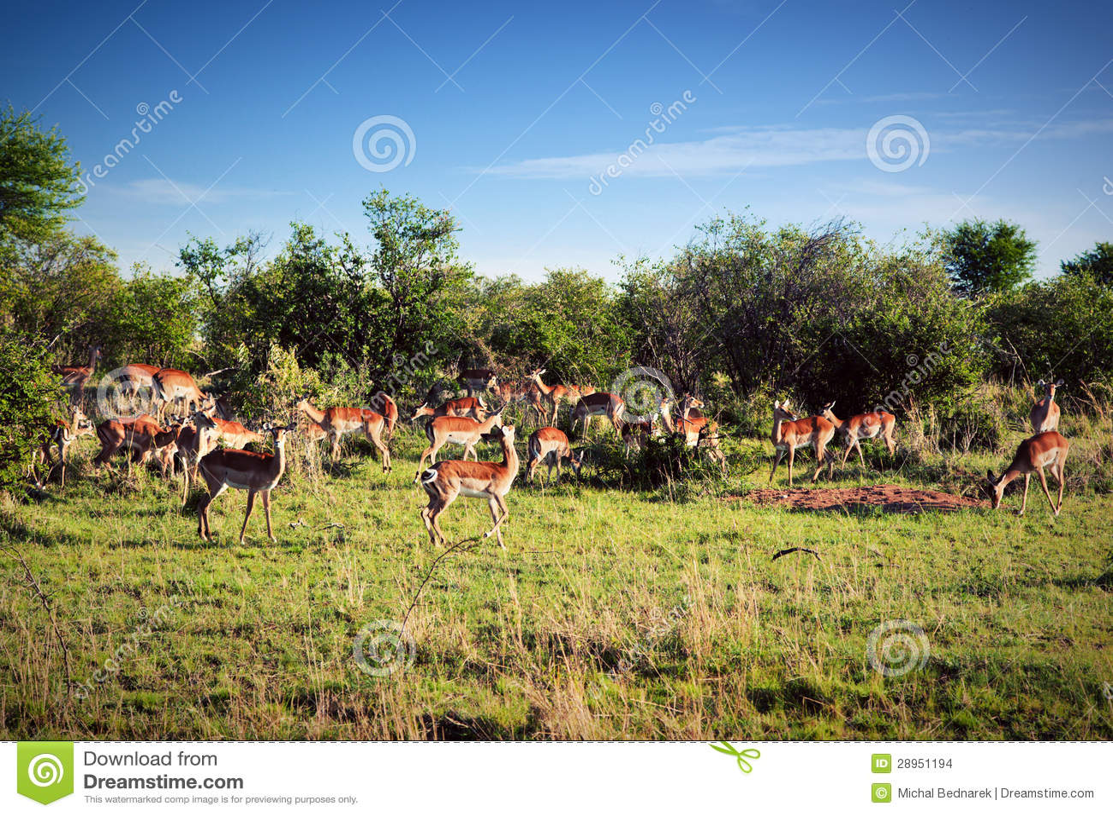 Impala stado na sawannie w Afryka