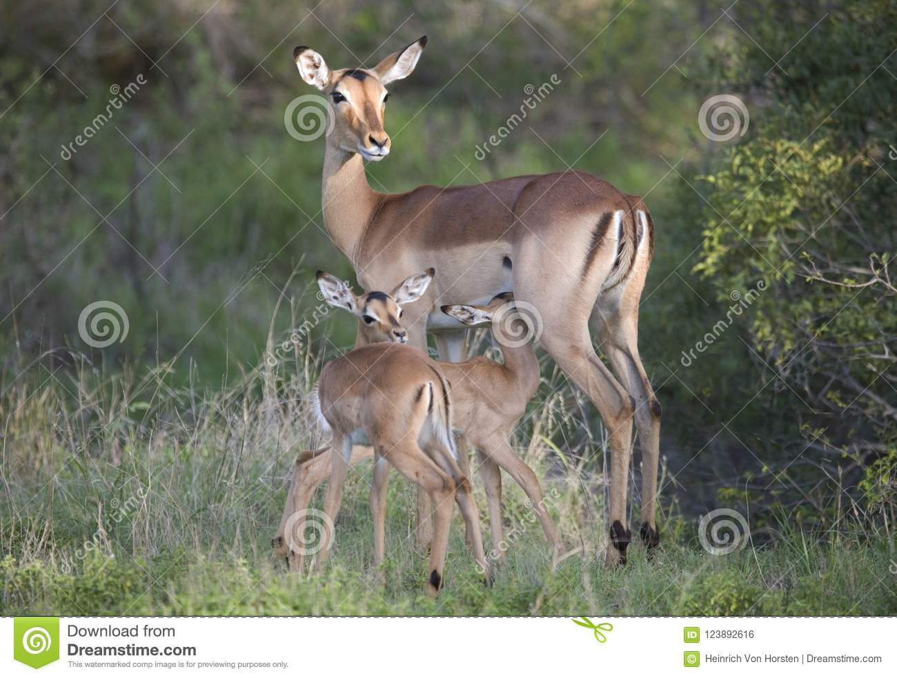 Impala With Twin Young In Kruger National Park Stock Photo - Image
