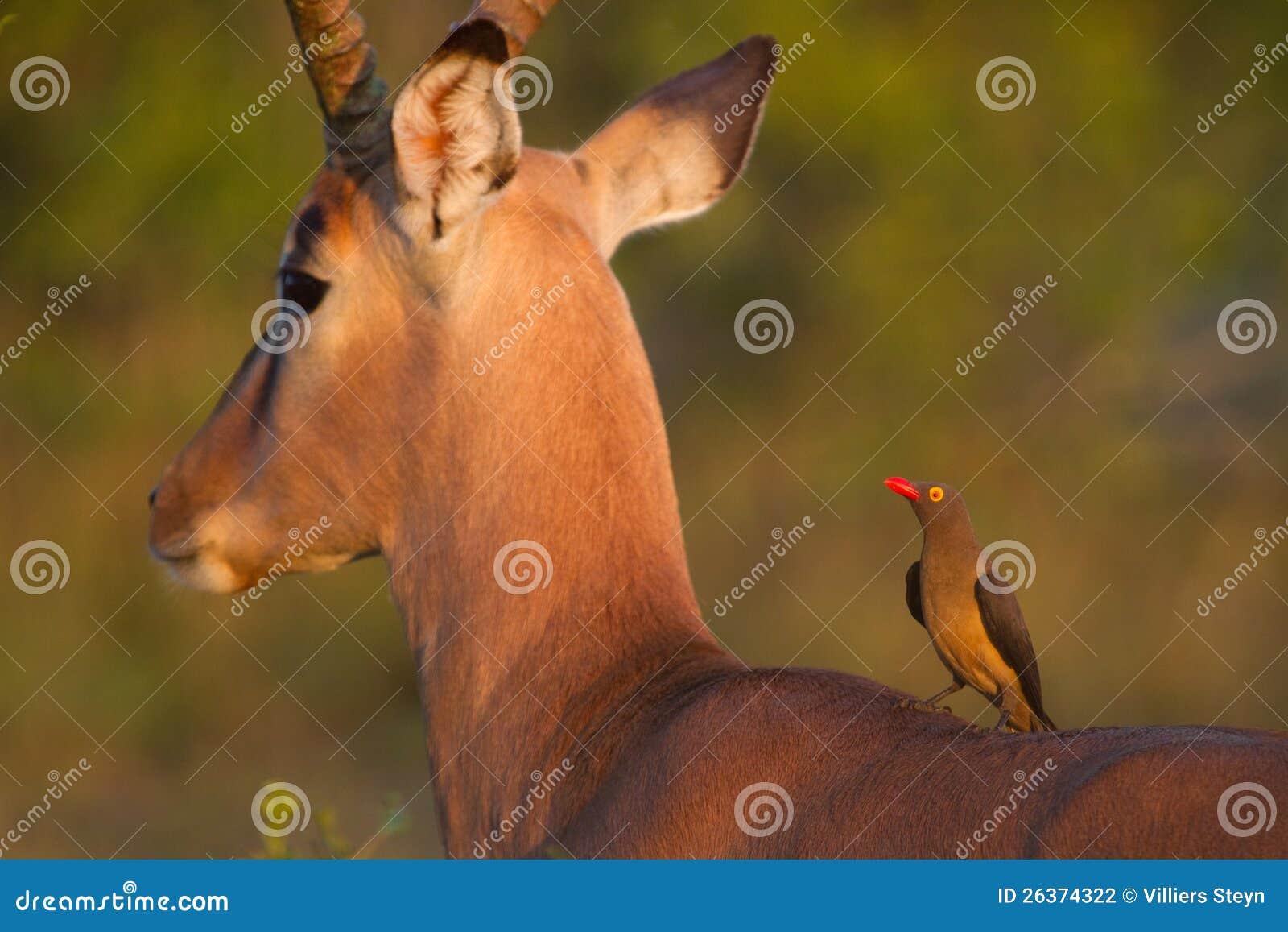 Impala und oxpecker