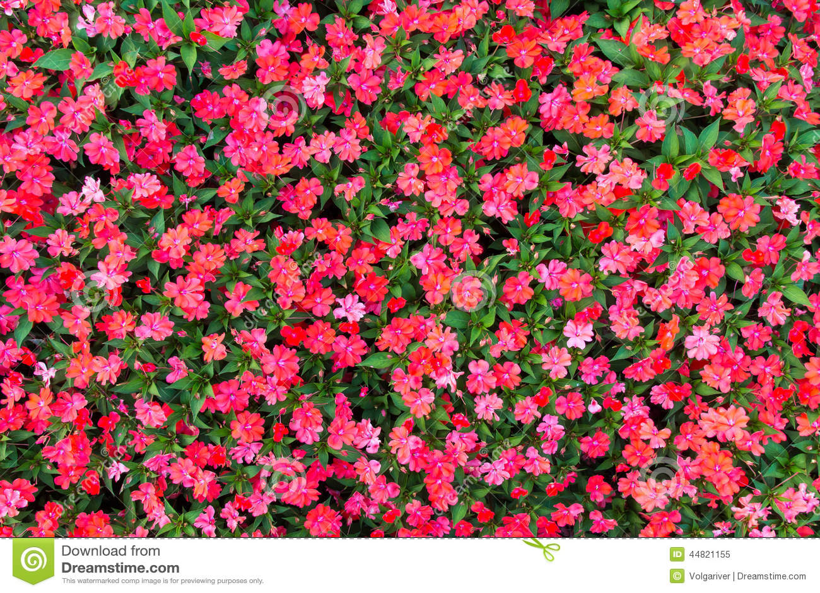 impatiens flowers background stock image