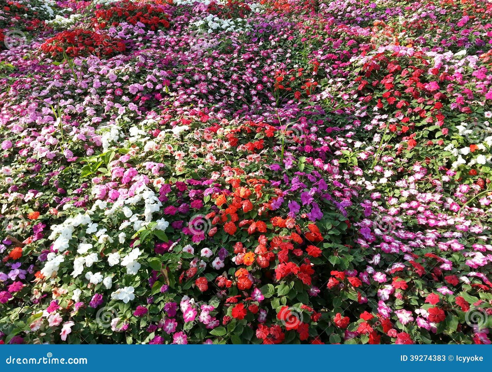 impatiens fond de tapis de fleur image stock image du. Black Bedroom Furniture Sets. Home Design Ideas