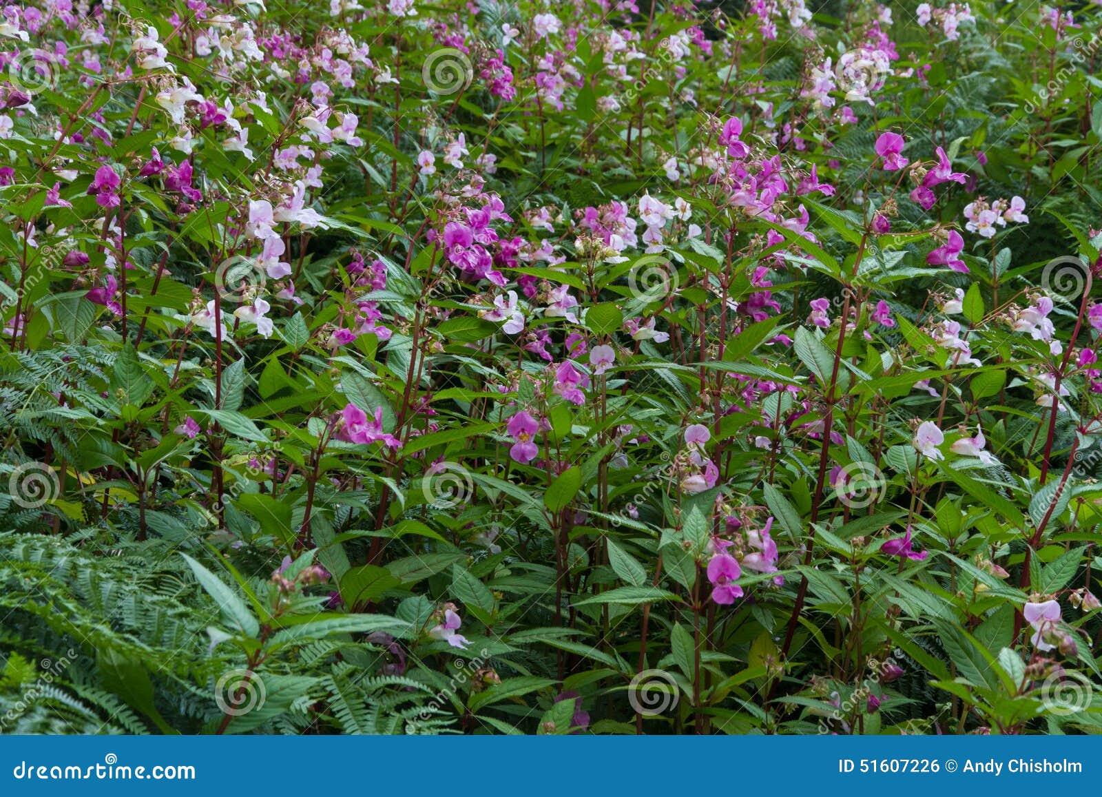 Impatiensglandulifera, Himalayan-balsem, het bloeien