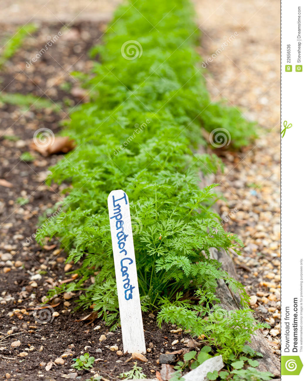 how to grow carrot at home in india