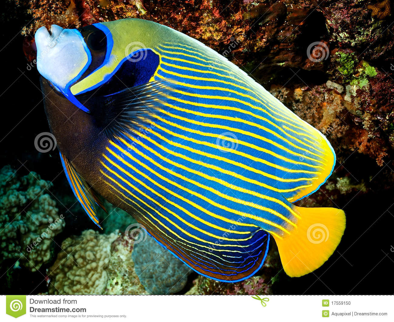 Imperator de pomacanthus poisson imperator d 39 ange photo for Achat poisson rouge nice