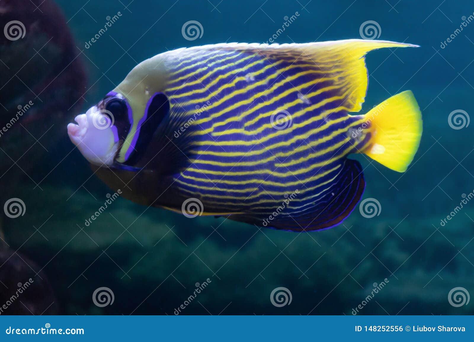 Imperator del Pomacanthus o pescados coralinos hermosos exóticos del ángel imperial en el acuario