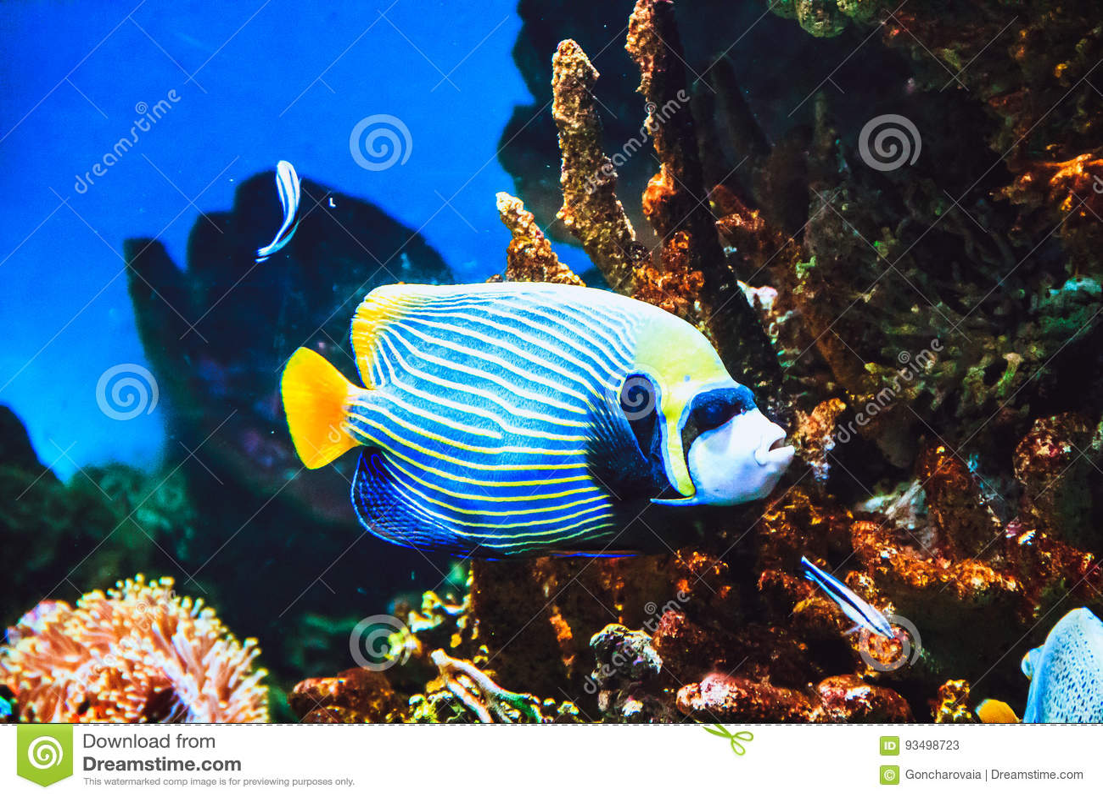 Imperatorvissen en koraalrif van Pomacanthus van de keizerzeeëngel in oceaan